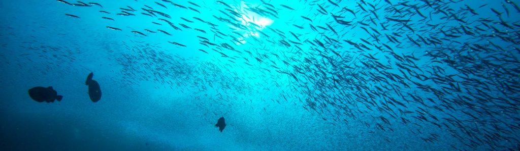 El atún y el bonito del norte son pescados de la misma familia, pero con aspectos que los hacen diferentes